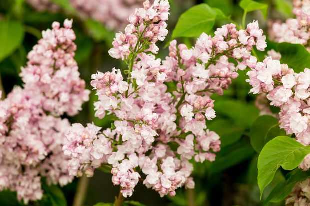 Syringa vulgaris 'Lois Amee Utley'