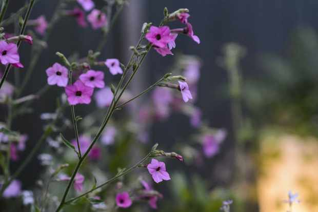 Nicotiana 'Whisper Mixed'