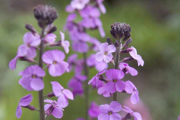 Wallflowers to grow - Erysimum bicolor 'Bowles's Mauve'