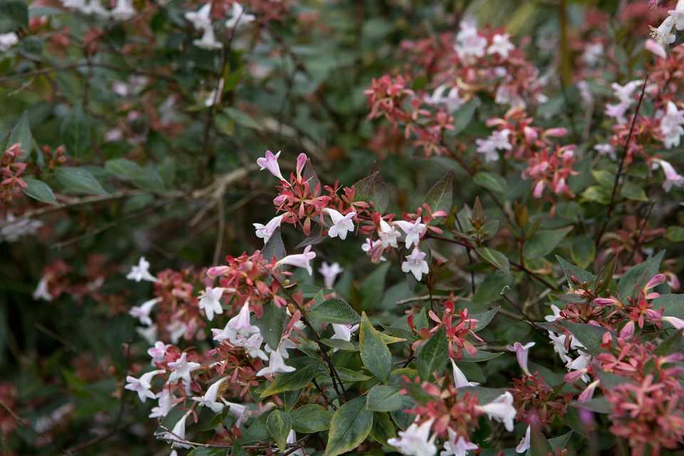 Abelia X Grandiflora Bbc Gardeners World Magazine