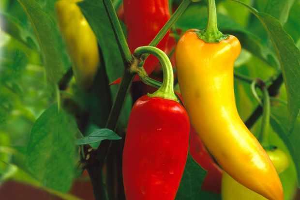 Capsicum annum 'Hungarian Hot Wax'