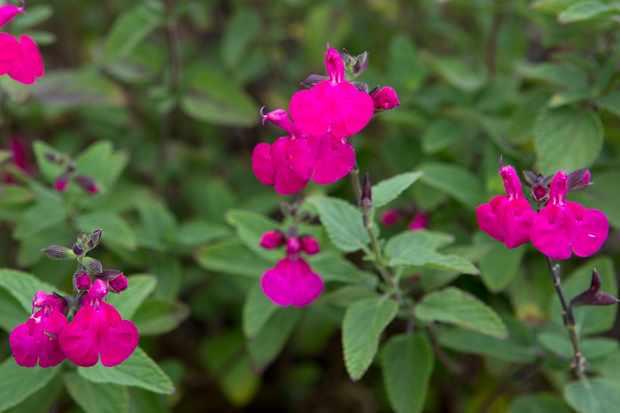 Salvia microphylla 'Cerro Potosi'