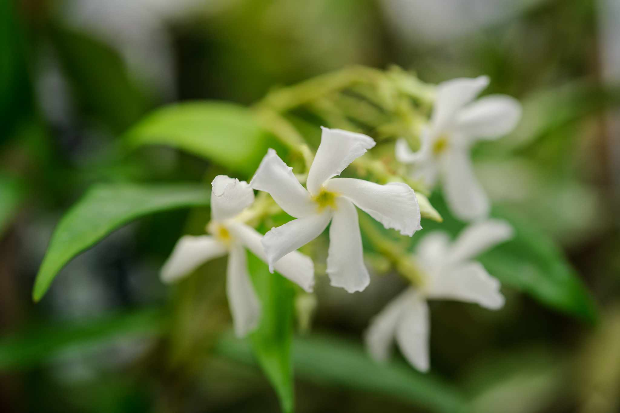 blooming-direct-half-price-star-jasmine