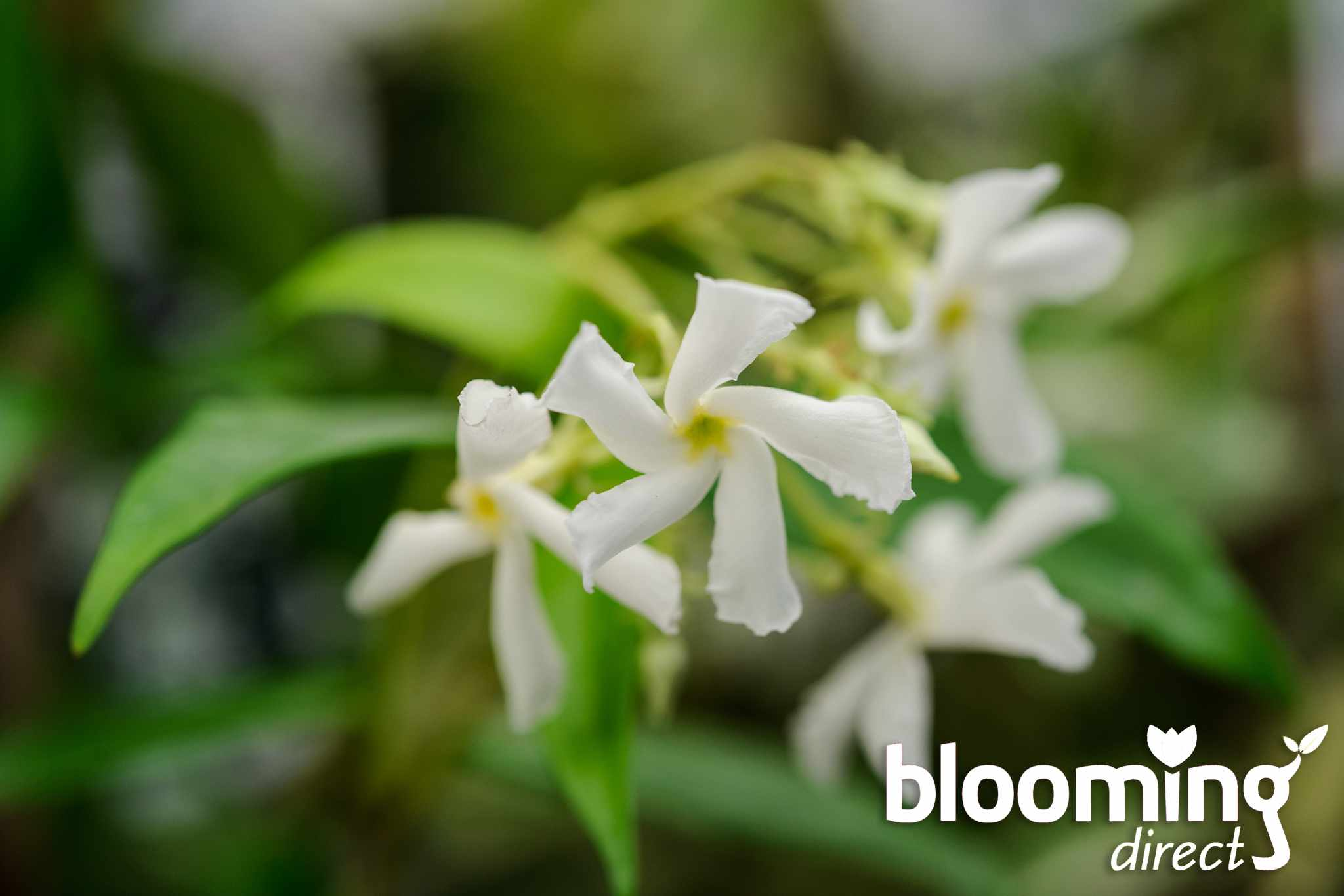 blooming-direct-star-jasmine