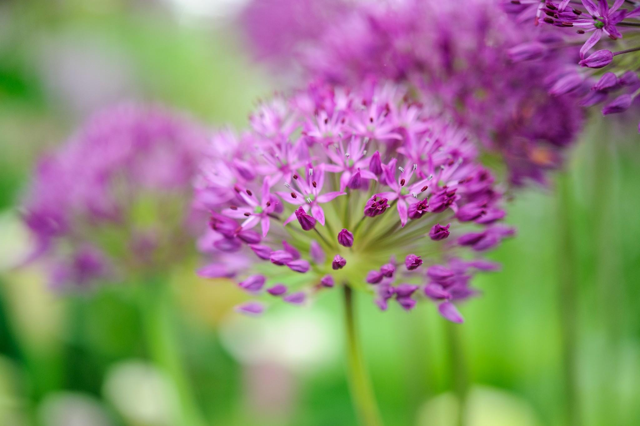 blooming-direct-save-5-on-allium-purple-sensation-2048-1365