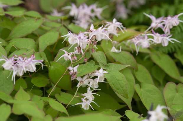 Epimedium grandiflorum 'Lilac'