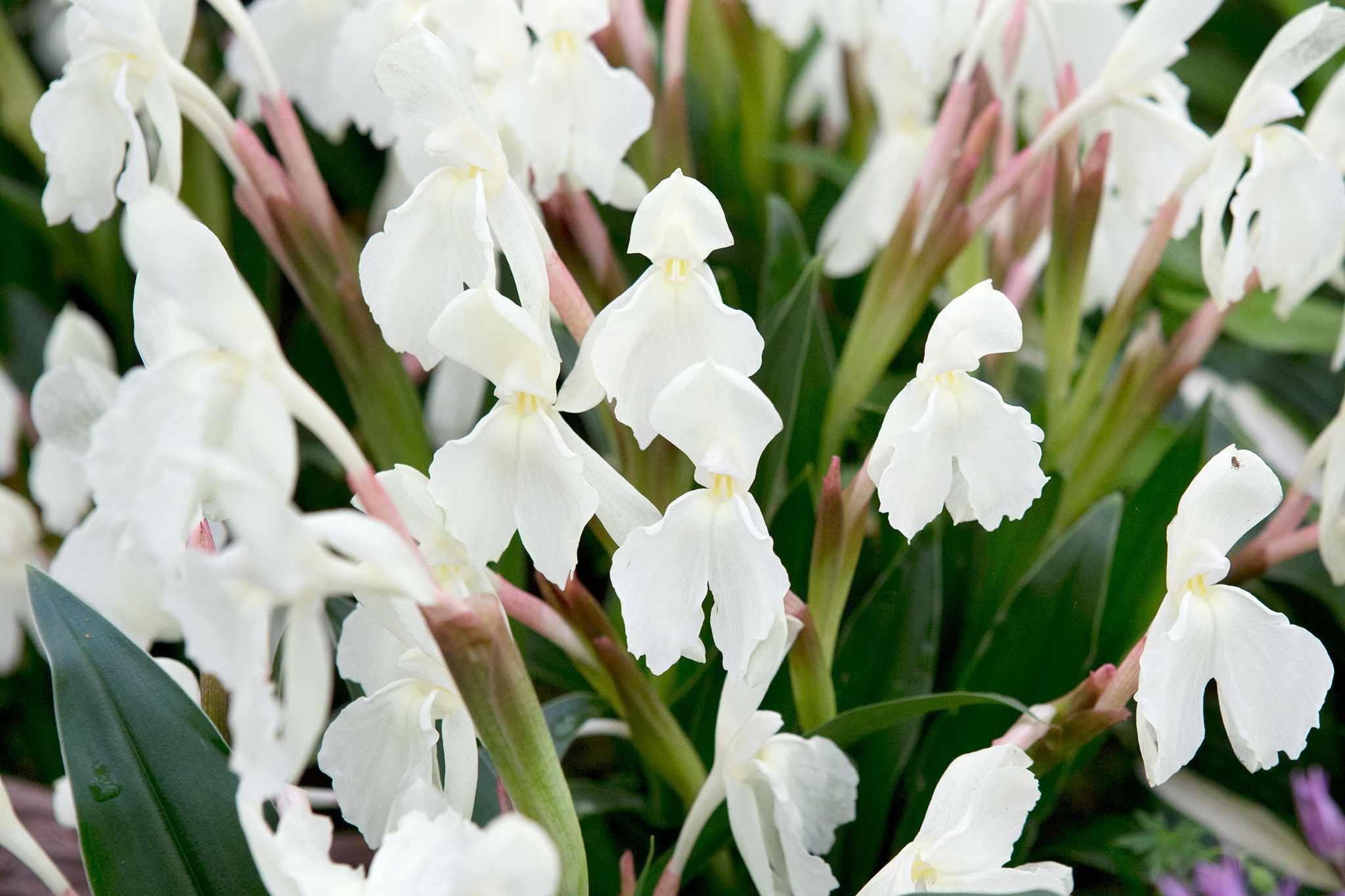 Roscoea 'Kew Beauty'