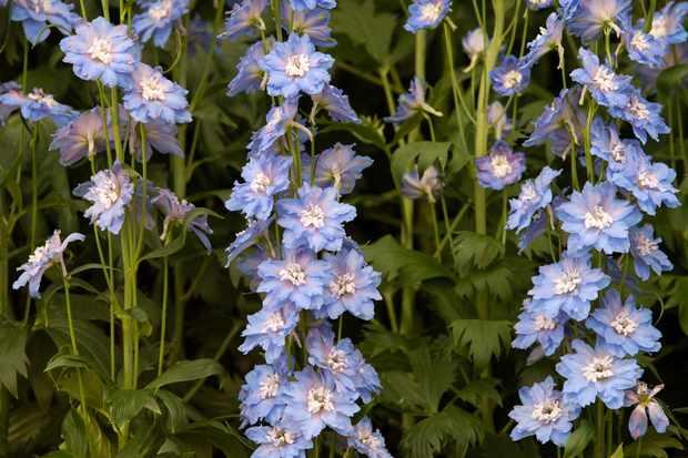 Delphinium 'Blue Lagoon'