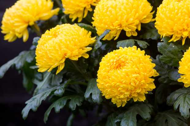 Chrysanthemum 'Misty Golden'