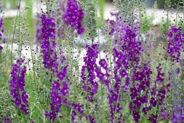 Verbascum phoenicium 'Violetta'
