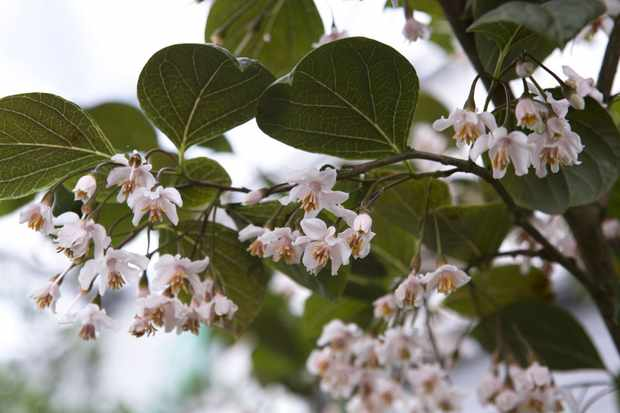 Styrax japonicus 'Purple Dress'