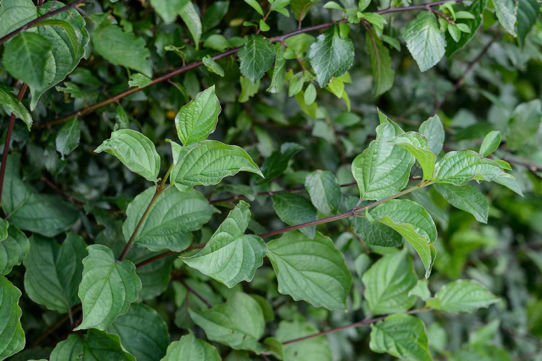 Cornus alba Atrosanguinea