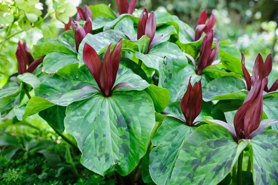 Trillium Chloropetalum Bbc Gardeners World Magazine