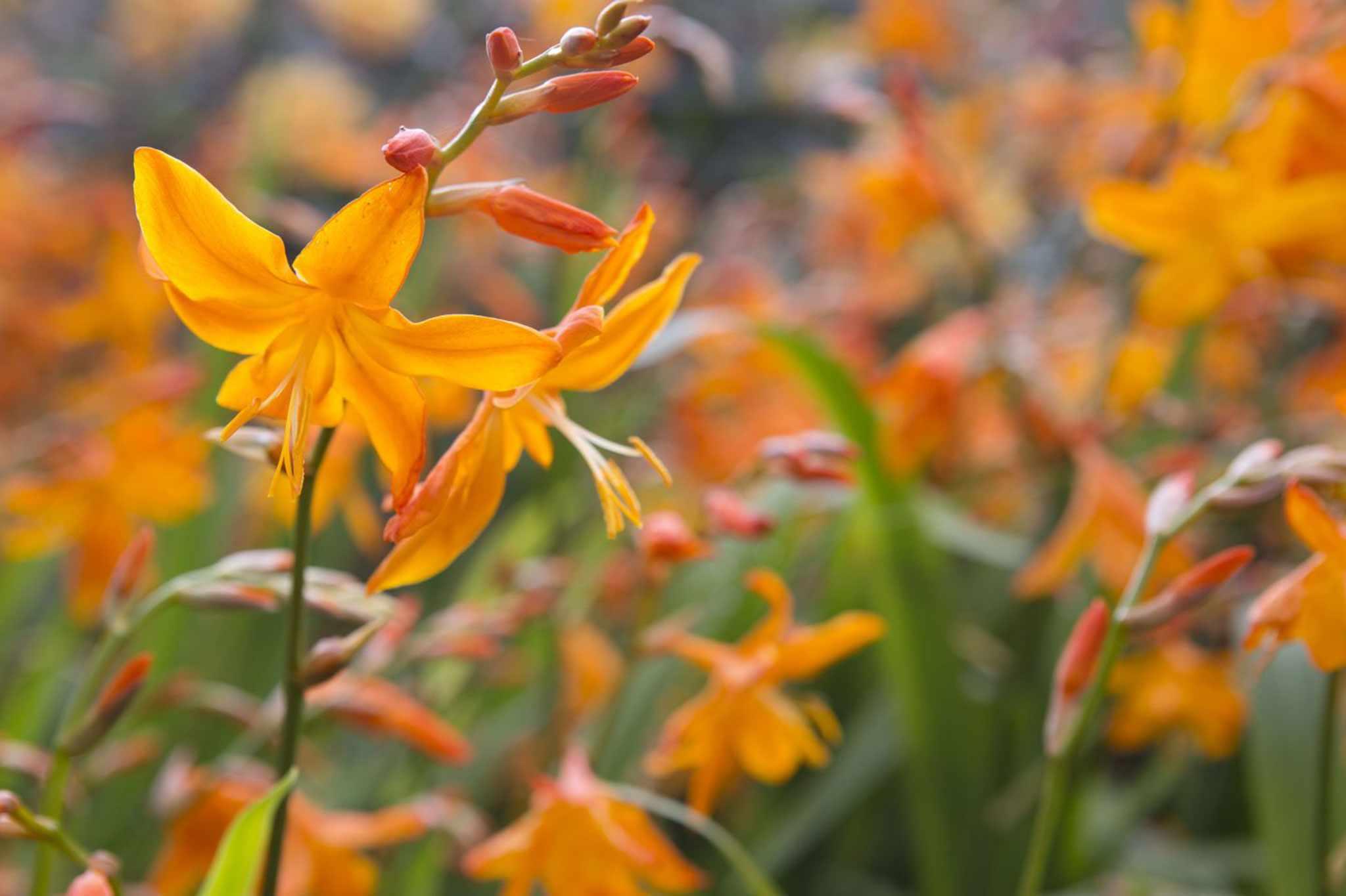 Crocosmia × crocosmiiflora 'Star of the East'