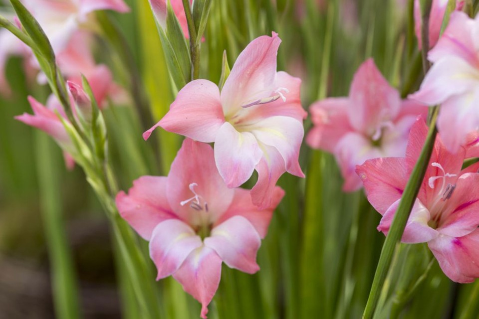 Gladiolus Nanus Charming Beauty Bbc Gardeners World Magazine