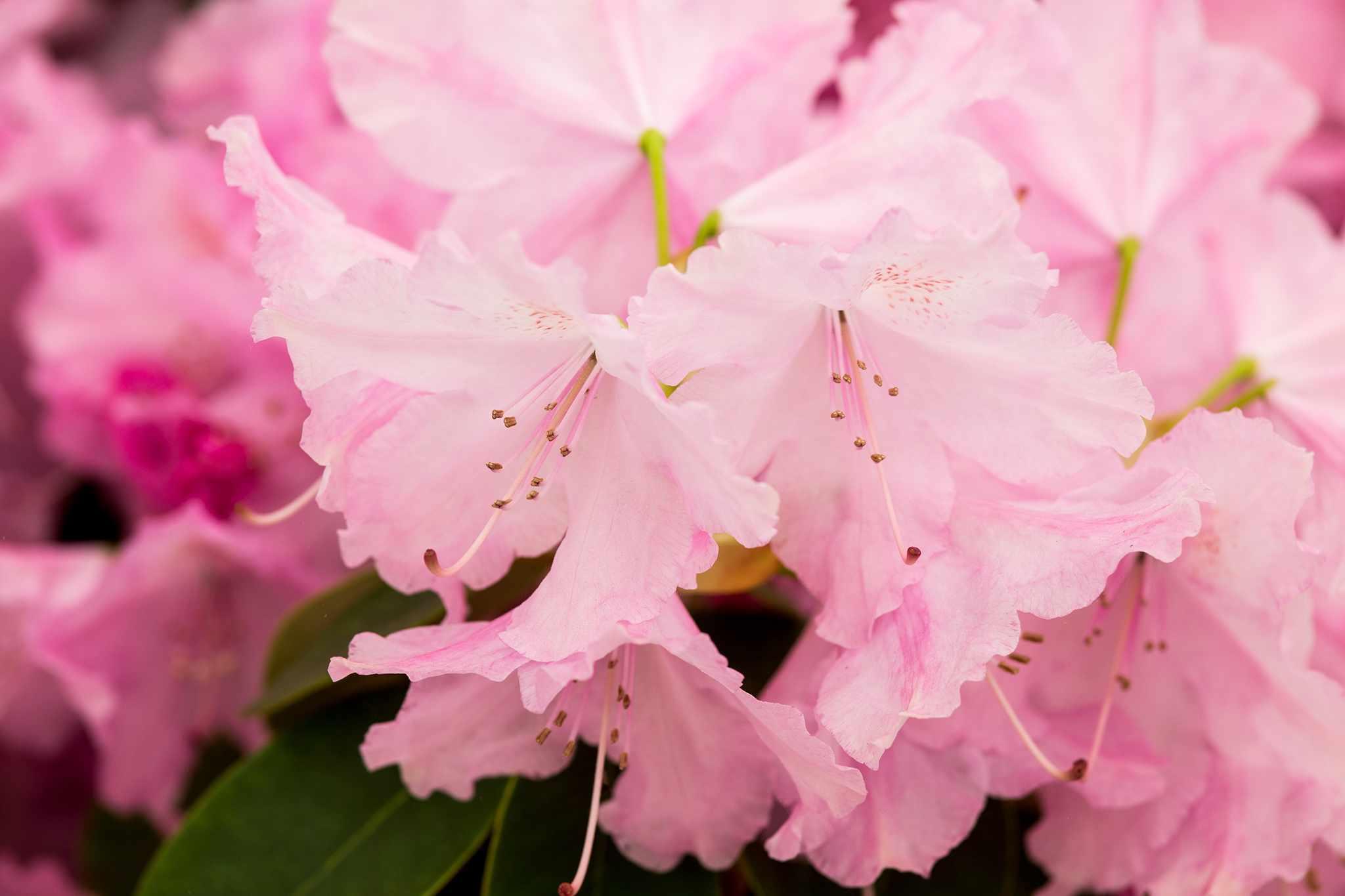 Rhododendron 'Moerheims Pink'