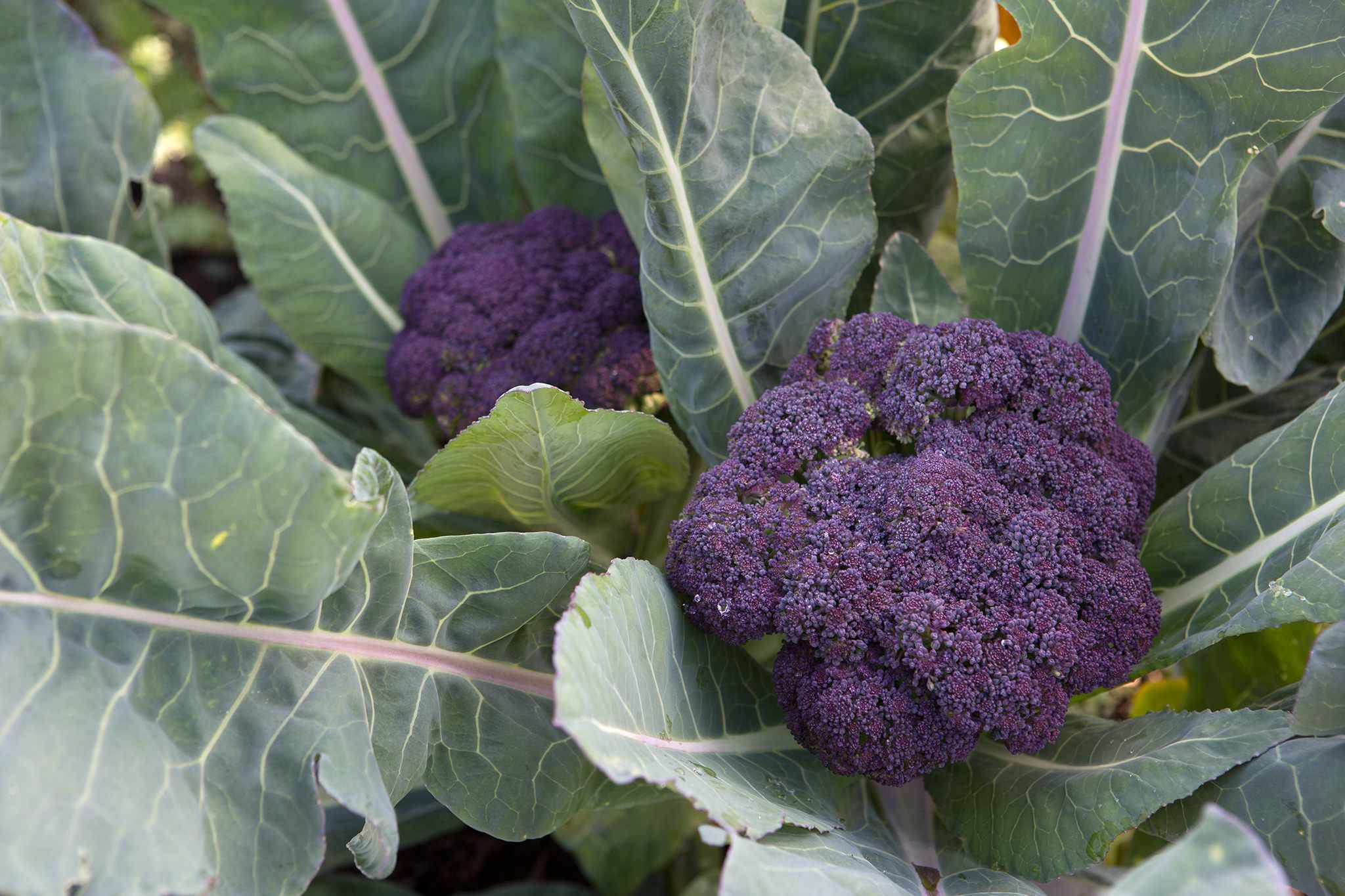 Cauliflower 'Violet Queen'