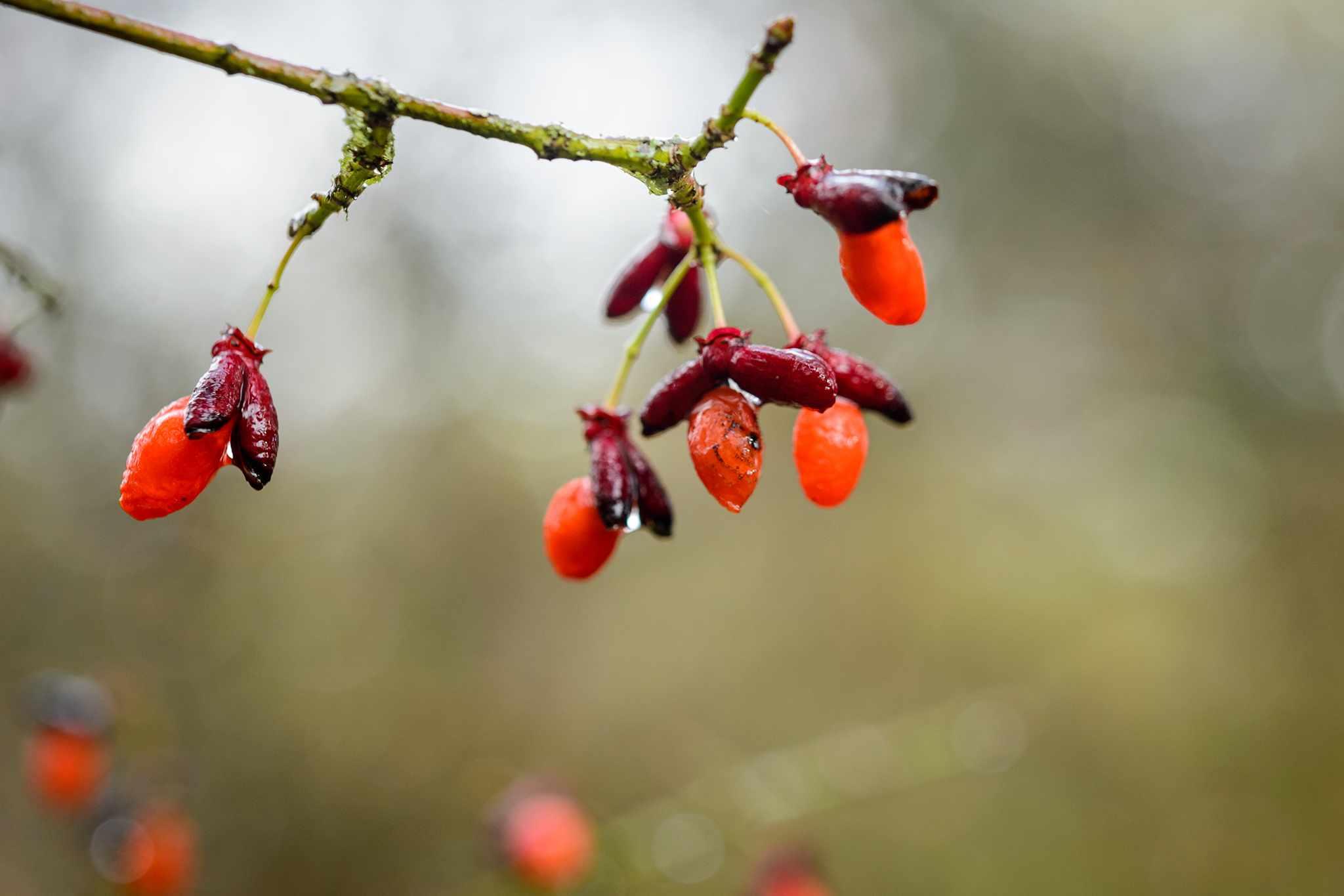 Euonymus alatus var. apterus