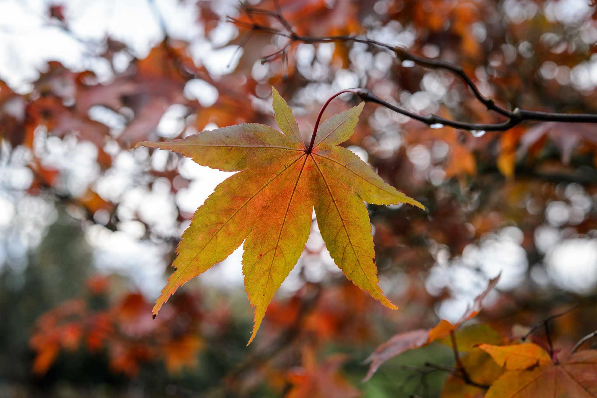 Acer palmatum var. matsumurae