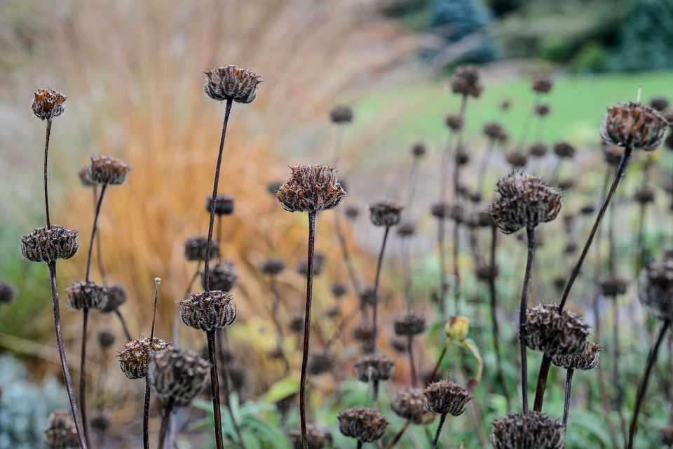 Phlomis longifolia,  Sir Harold Hillier Garden