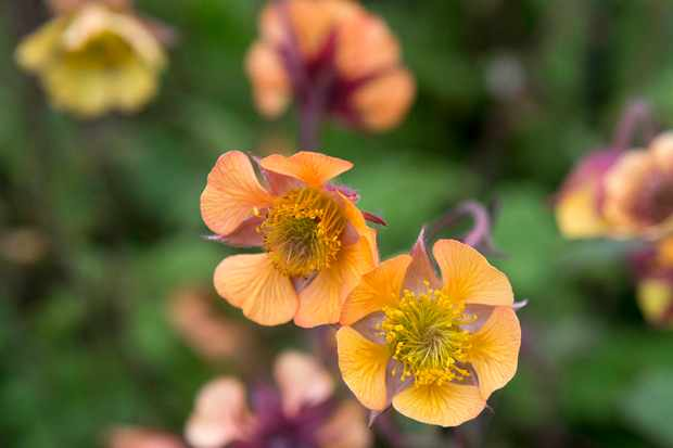 Geum 'Turbango Twister'
