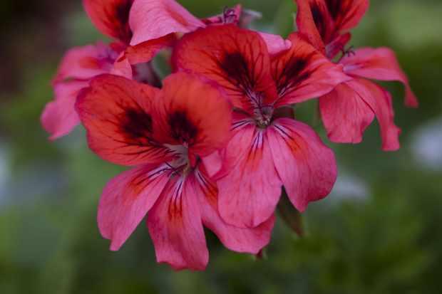 Pelargonium 'Polka'