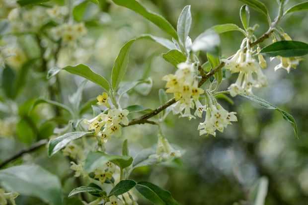 Elaeagnus parvifolia
