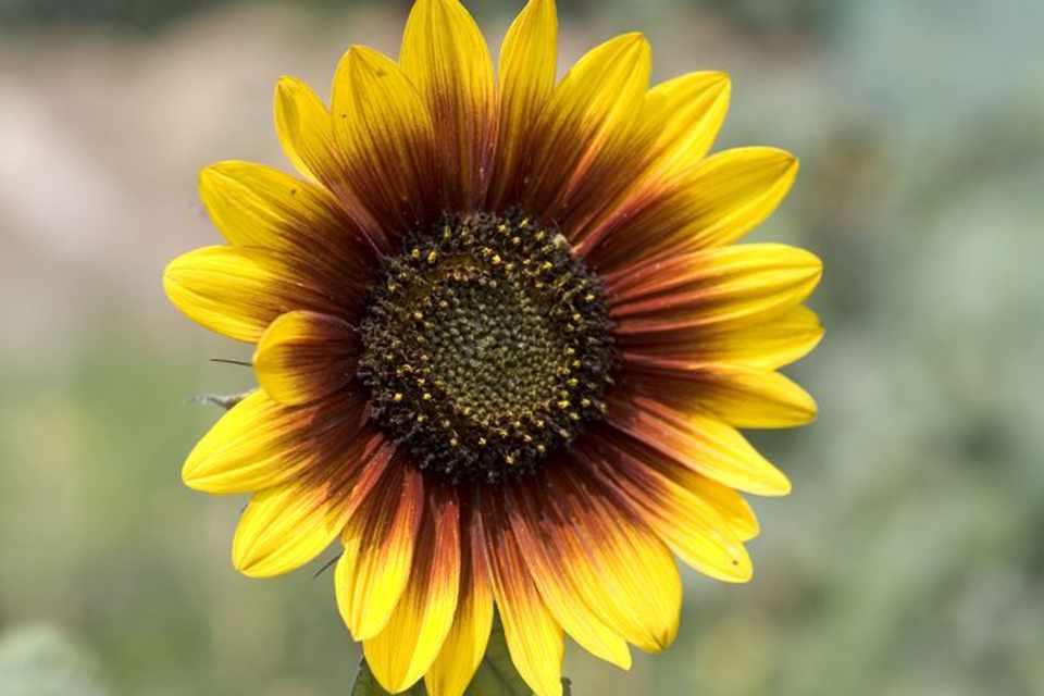 цветы похожие на подсолнухи фото животным необходим свежий