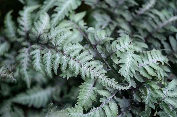 Athyrium niponicum var. pictum