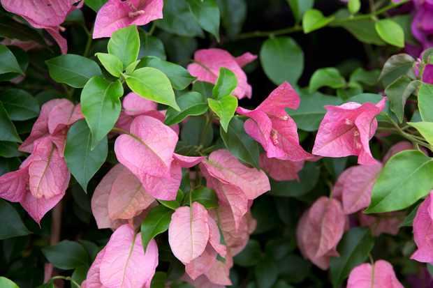 Bougainvillea 'Rosa Preciosa'