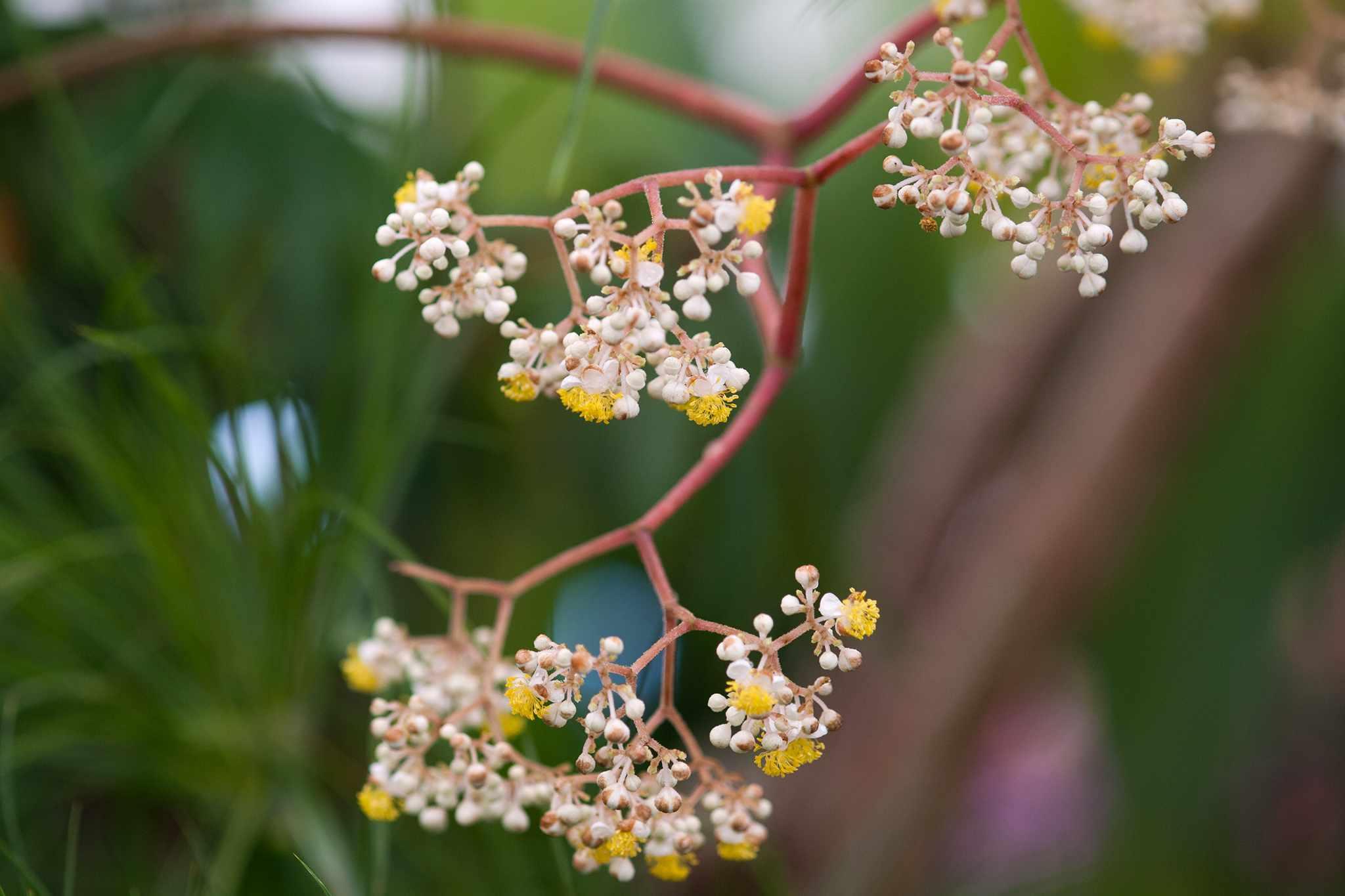 Begonia luxurians flowers
