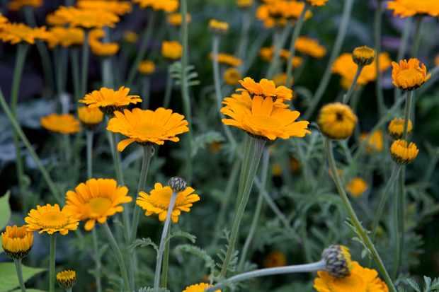 Anthemis 'Orange Dream'