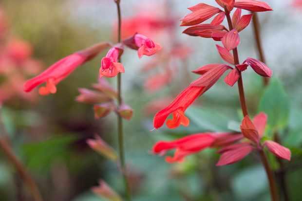 Salvia 'Ember's Wish'