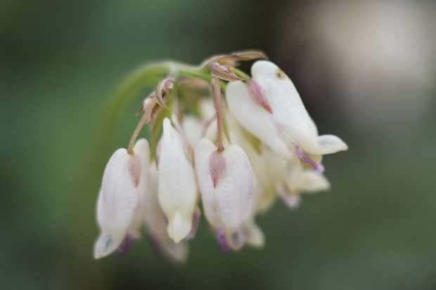Lamprocapnos spectabilis 'Pearl Drops'