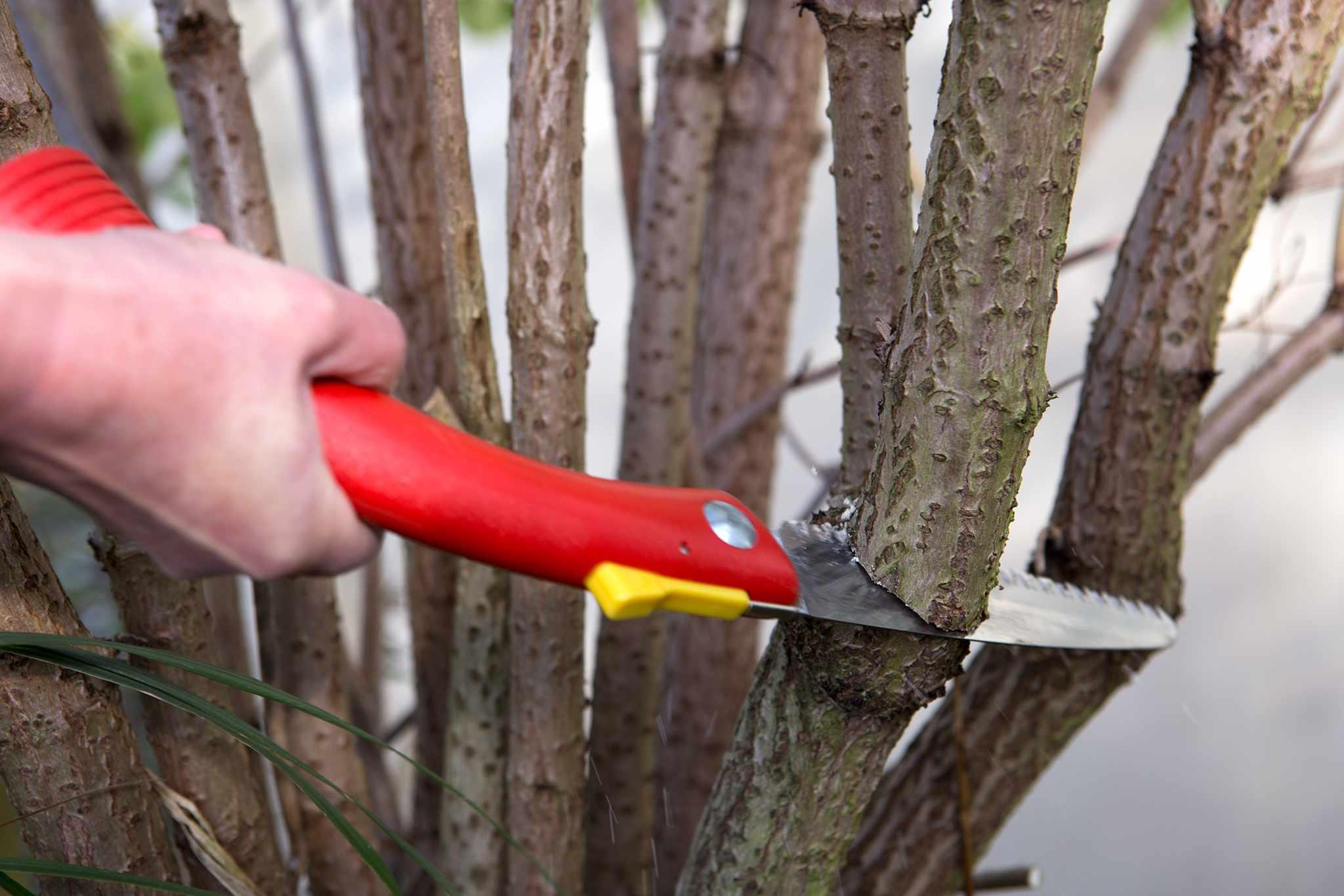 Autumn pruning elder with pruning saw