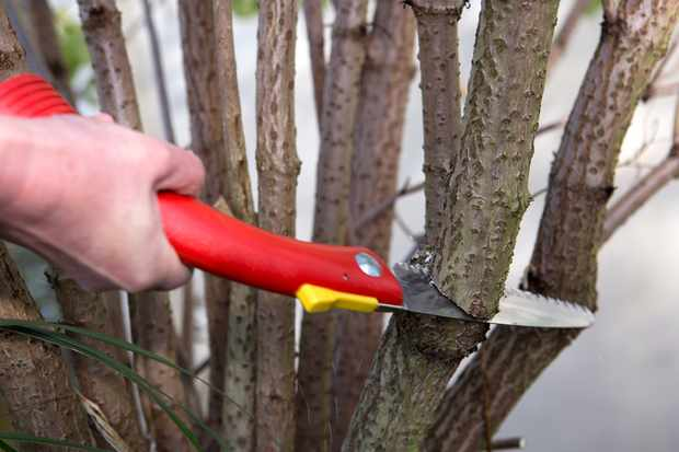 Autumn pruning elder with pruning saw