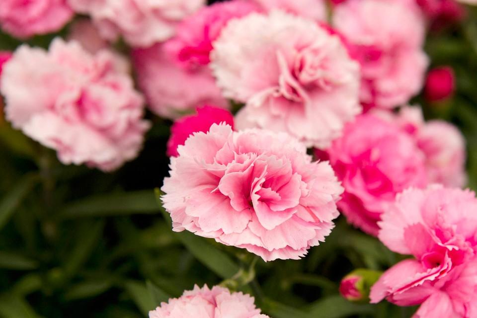 Dianthus Candy Floss Bbc Gardeners World Magazine
