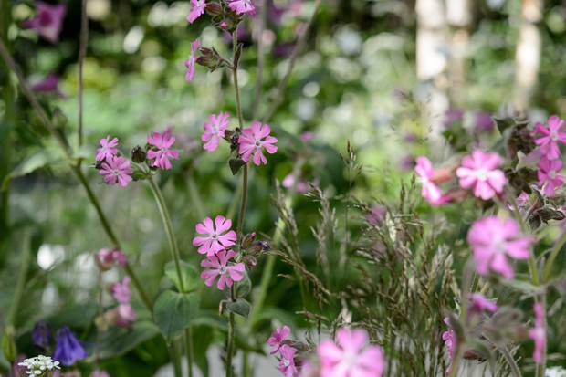 Red campion, Silene dioica