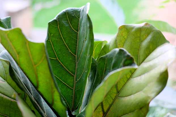 Fiddle leaf fig Ficus lyrata