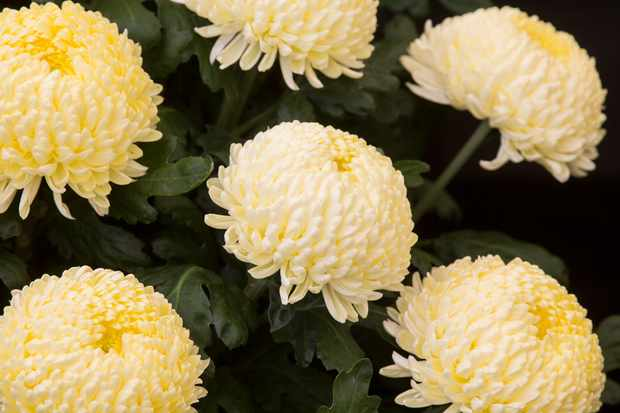 Chrysanthemum 'Misty Cream'