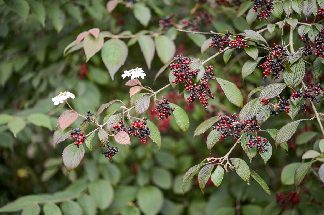 Viburnum plicatum f. tomentosum 'Dart's Red Robin'
