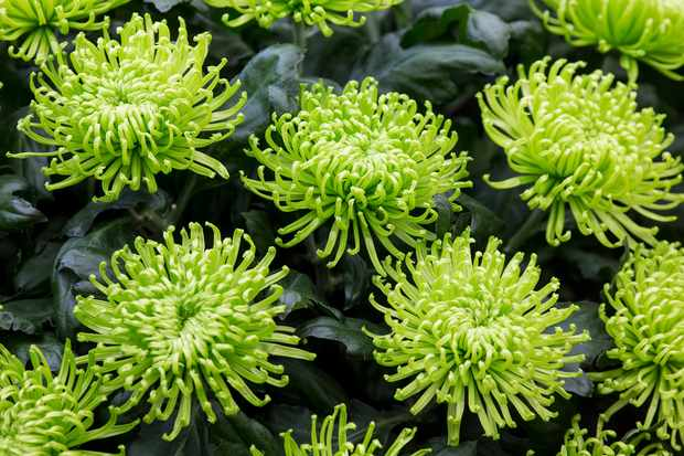 Chrysanthemum 'Green Mist'
