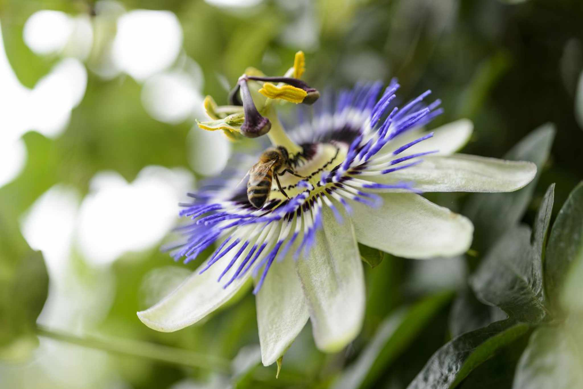 Passion flower, Passiflora caerulea