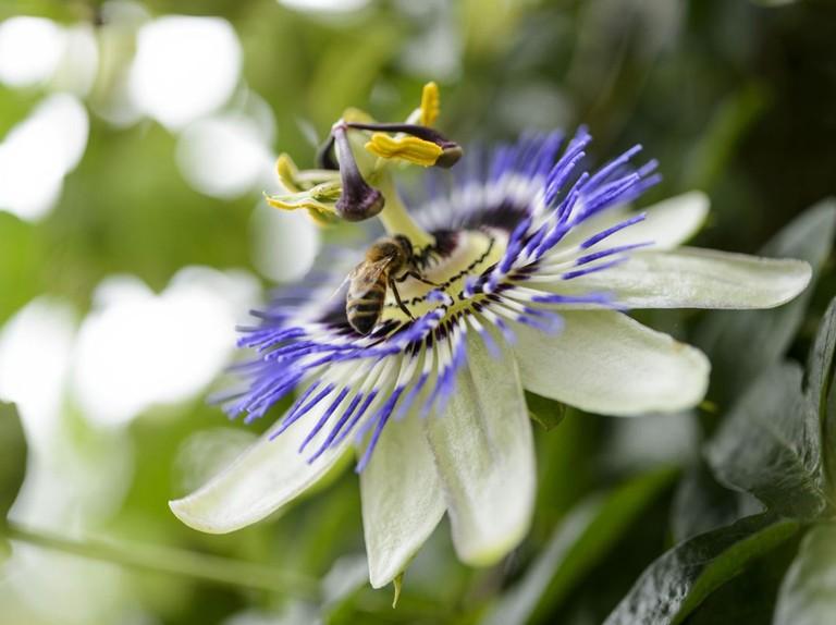 Passiflora Caerulea Passion Flower Bbc Gardeners World Magazine