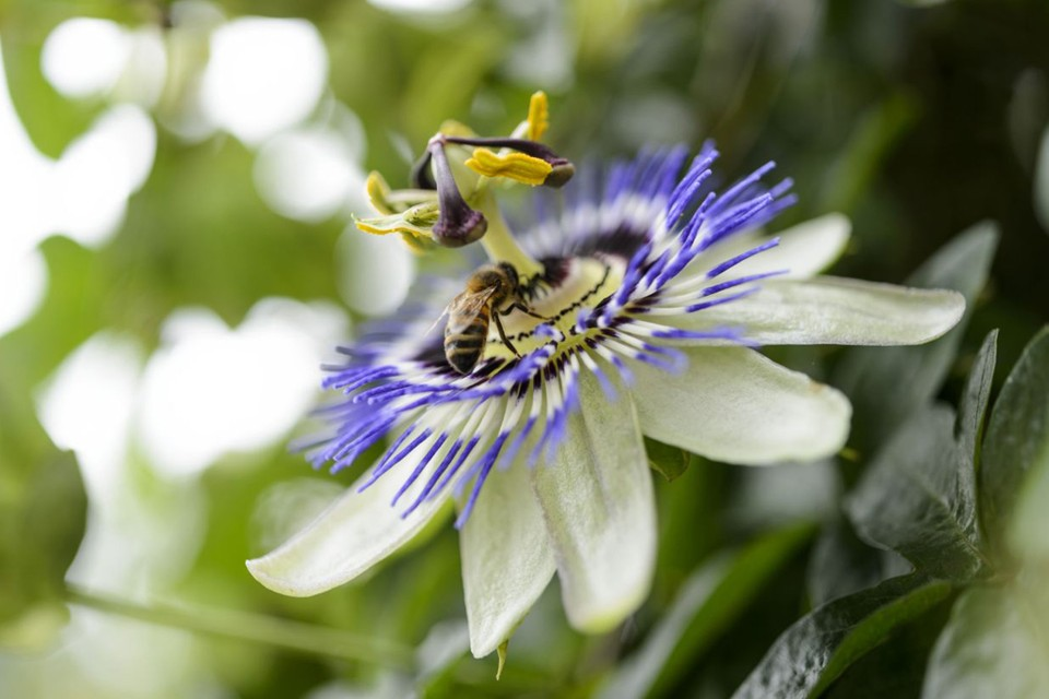 Passiflora Caerulea Passion Flower Bbc Gardeners World Magazine