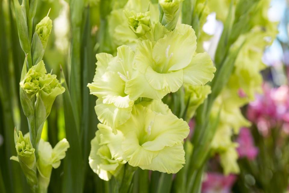Gladiolus Green Star Bbc Gardeners World Magazine