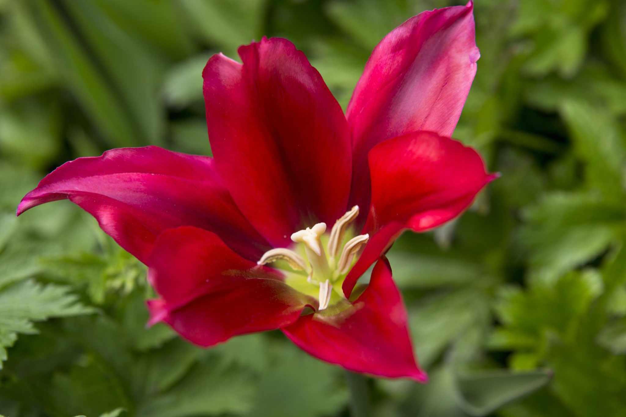 Tulipa 'Doll's Minuet'