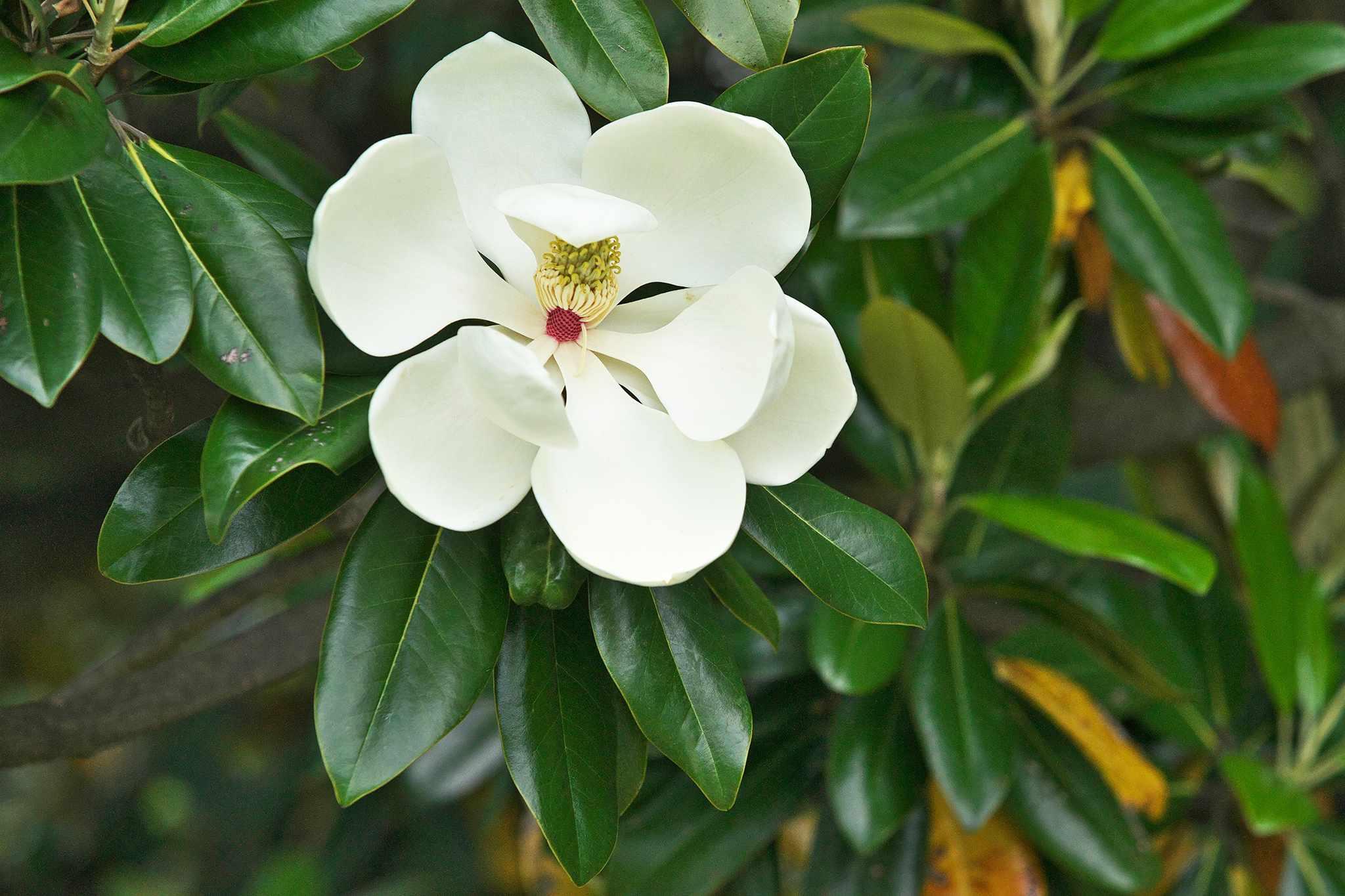 Magnolia grandiflora. Photo: Getty Images.