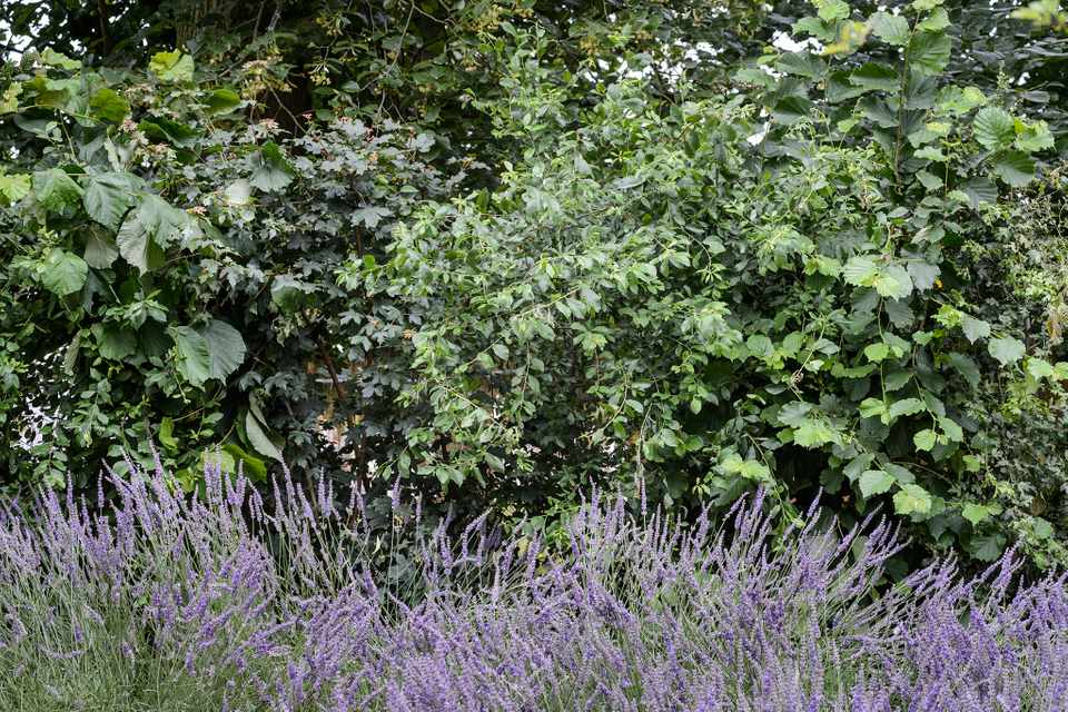 Native hedge of lime, hazel, field maple, crataegus and cornus