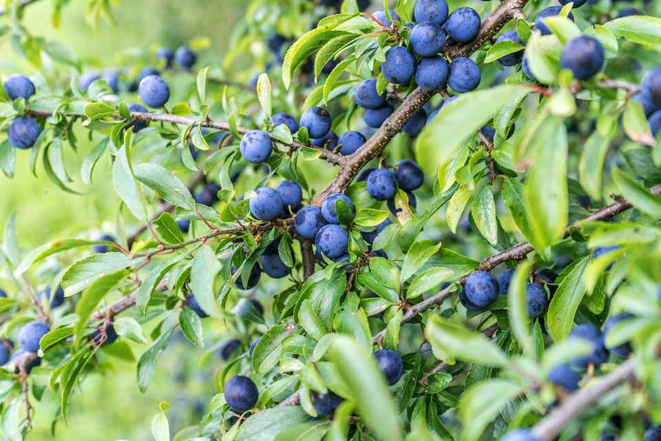 Blackthorn (Prunus spinosa) with sloes. Photo: Getty Images.